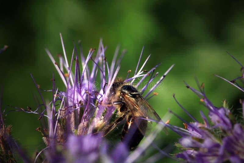 蜂、apis mellifera和蜜源植物phacelia 免版税库存照片