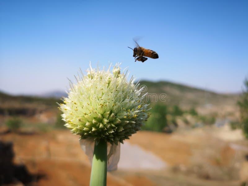 蜂临近一棵绿色中国葱花 免版税图库摄影
