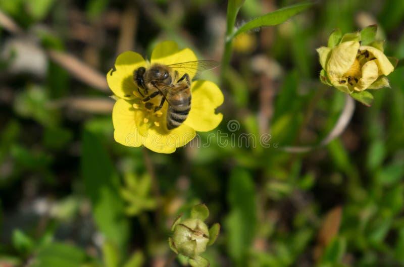 蜂从一朵黄色花收集花粉 免版税库存图片