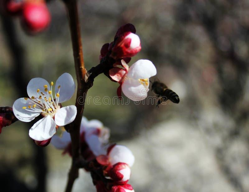 蜂从杏子花、李子花在春天有桃红色瓣的和明亮的红色花,白色和桃红色瓣收集花蜜 库存照片