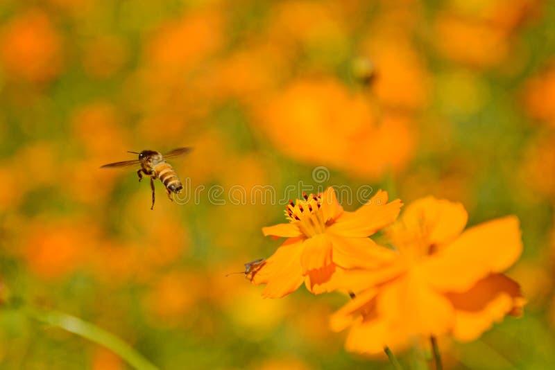 蜂关闭的宏观照片,starburst开花夏天黄色叶子领域背景草花自然季节庭院公园 免版税图库摄影