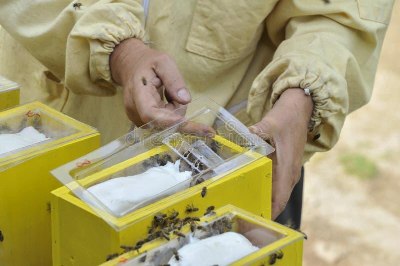 蜂农与联接的蜂房一起使用 库存图片