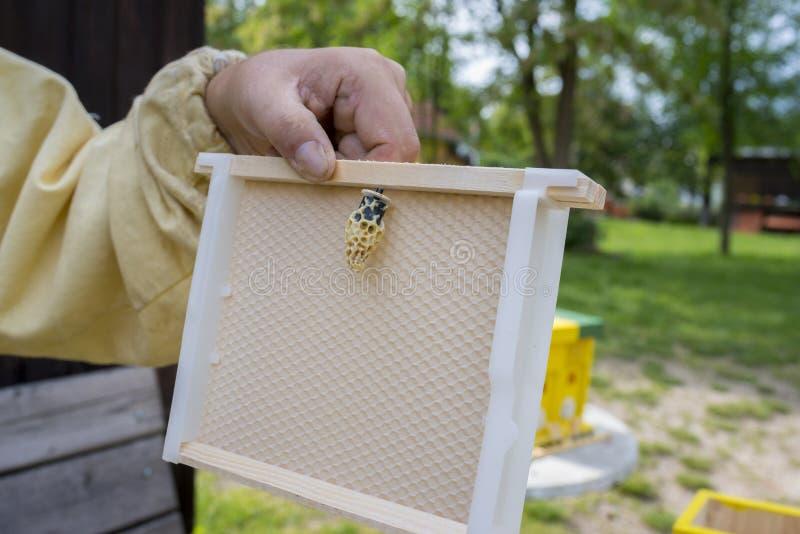 蜂农与蜂一起使用quen cels 图库摄影