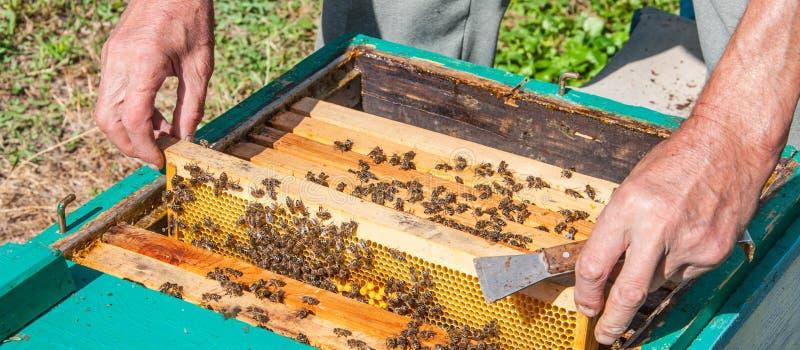 蜂农从蜂箱去除框架 库存照片