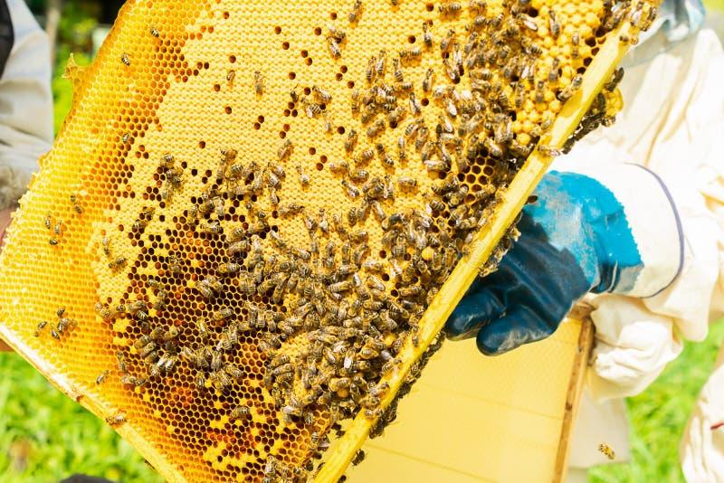 蜂农拿着一个框架用蜂蜜和蜂 在蜂房的养蜂业工作 r 免版税图库摄影