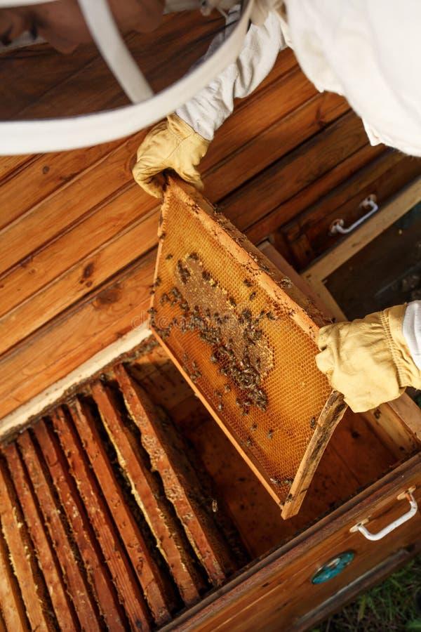 蜂农的手从蜂房拔出与蜂窝的一个木制框架 收集蜂蜜 养蜂业概念 库存照片