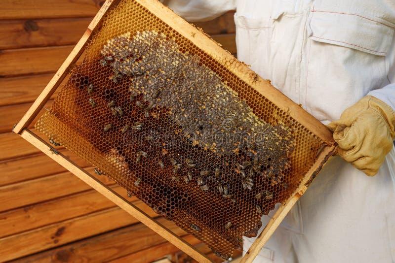 蜂农的特写镜头手拿着与蜂窝的木制框架 收集蜂蜜 养蜂业概念 免版税库存照片
