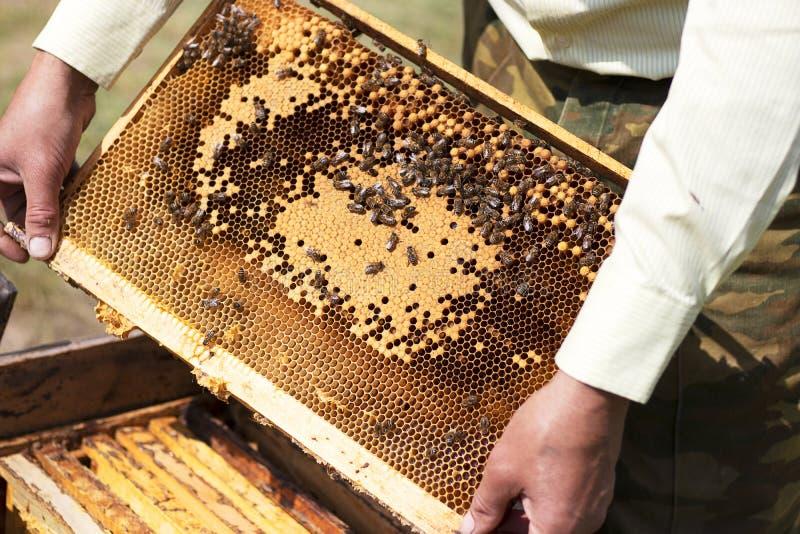 蜂农采取从蜂房的蜂窝 蜂窝用在蜂房的新鲜的黄色蜂蜜 框架用自然蜂蜜 库存图片