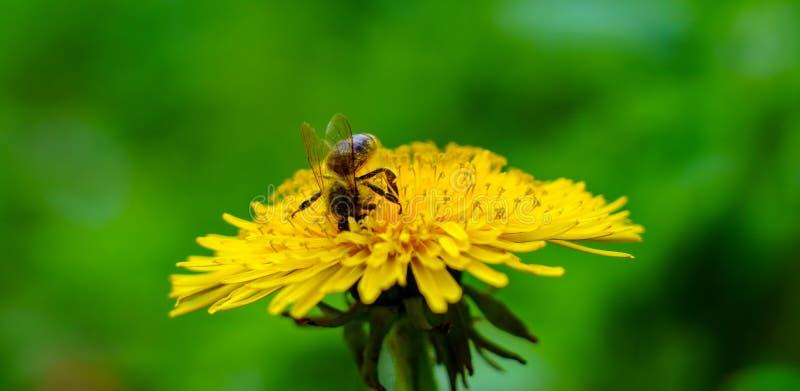 蜂分开坐花,腿并且从在草甸的黄色蒲公英收集花粉在晴朗的春日 免版税库存照片