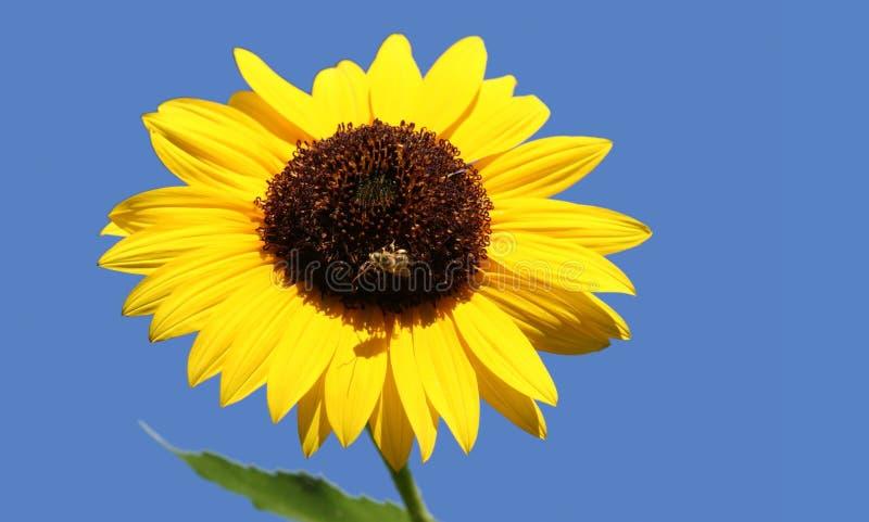 蜂向日葵 免版税库存图片