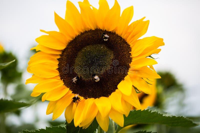 蜂和土蜂在向日葵,宏观射击 图库摄影