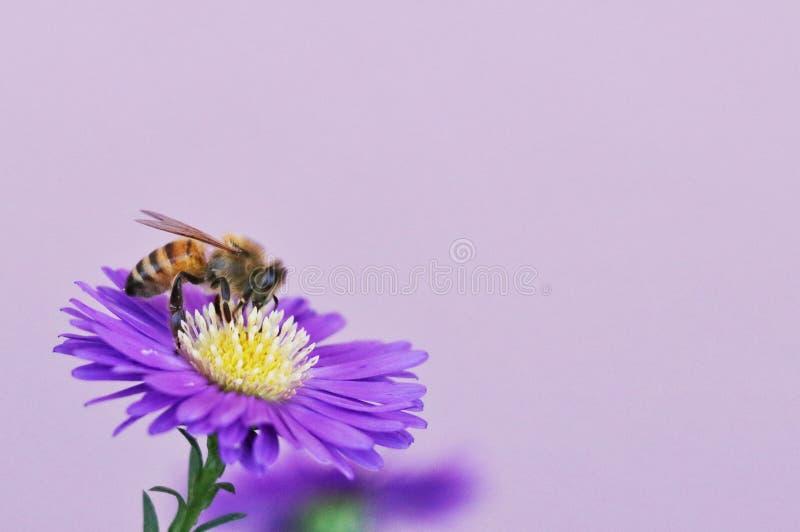 蜂和紫色雏菊关闭 免版税库存照片