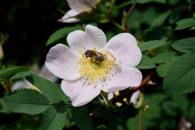 蜂和花在夏天城市公园 免版税库存照片
