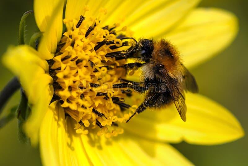 蜂和花-宏指令 图库摄影