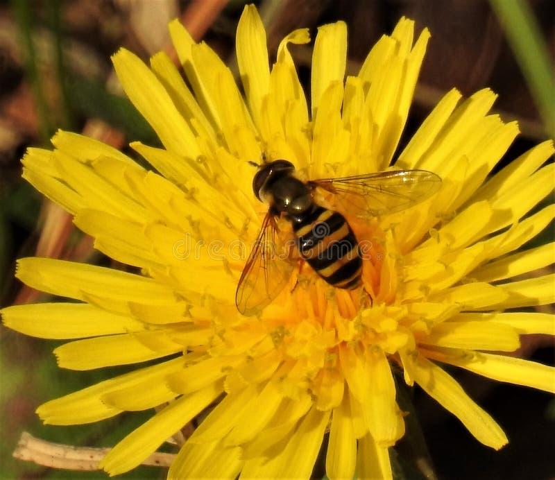 蜂和蒲公英 库存图片