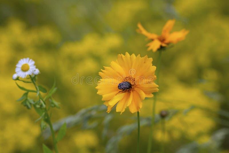 蜂和黄色波斯菊花在草甸 免版税库存照片
