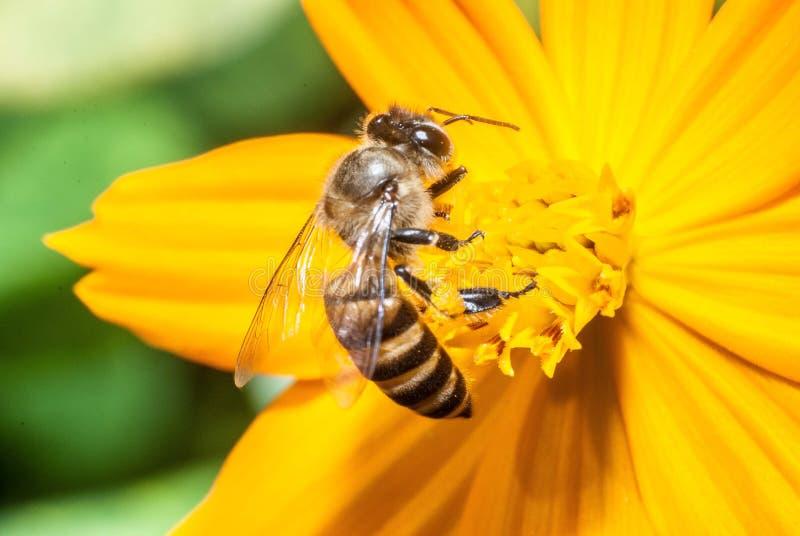 蜂和黄色花 免版税库存图片
