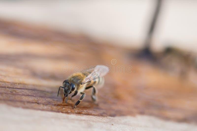 蜂喝水 在一块木头的蜂 免版税库存图片
