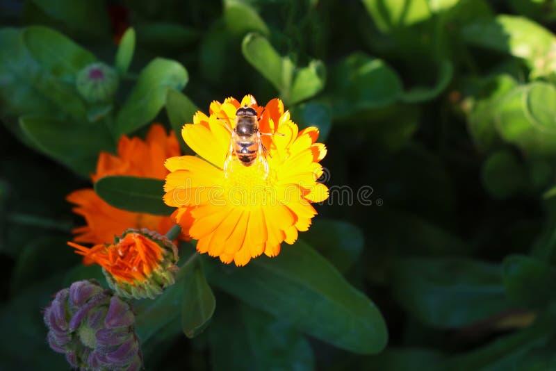 蜂在一朵黄色花,与一只蜂的一朵花搜查在夏天庭院里 免版税库存照片