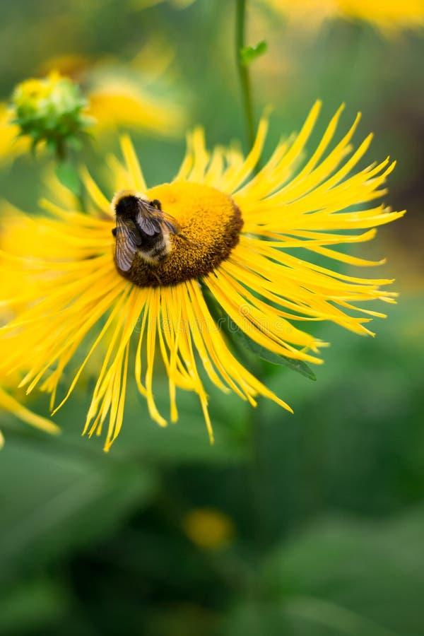 蜂在夏天收集在大黄色花的花蜜,昆虫生活 库存照片