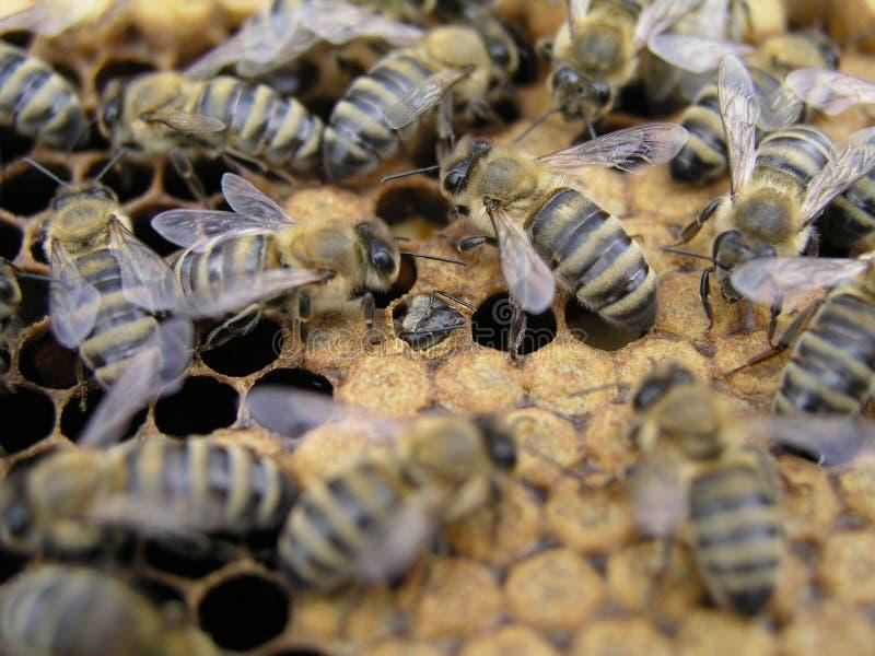 蜂在巢房间的加盖的巢附近爬行 新出生在蜂 库存图片