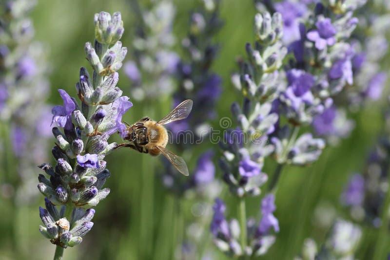蜂在庭院里 免版税库存图片