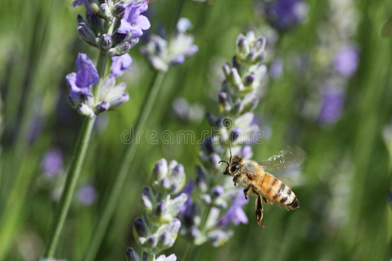 蜂在庭院里 库存照片