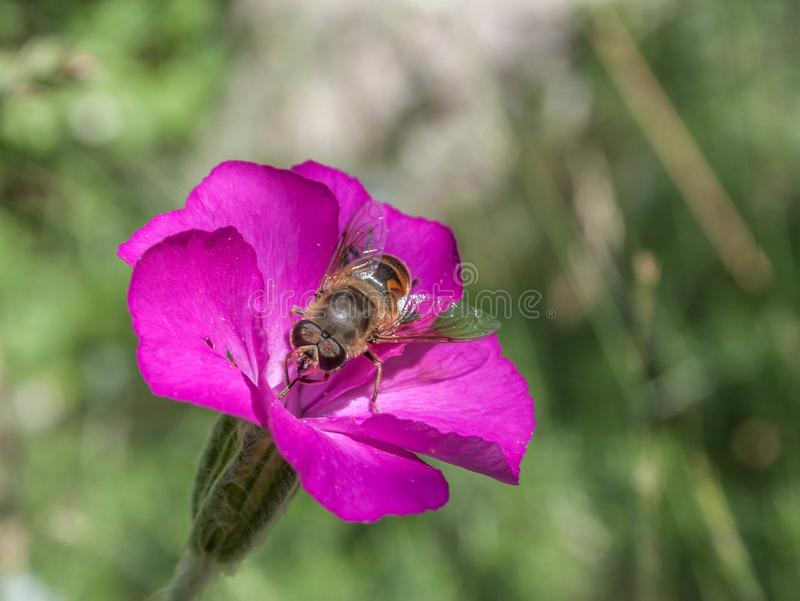 蜂在花登陆了 库存图片