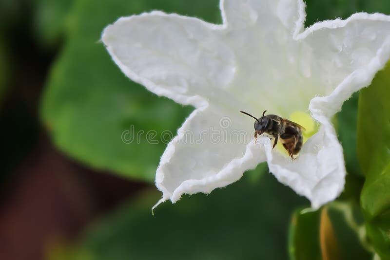 蜂在花的瓣被栖息 图库摄影