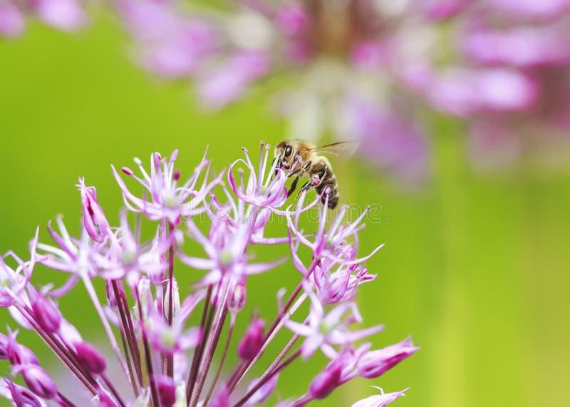 蜂在花蜜的一把装饰弓上飞行 库存照片