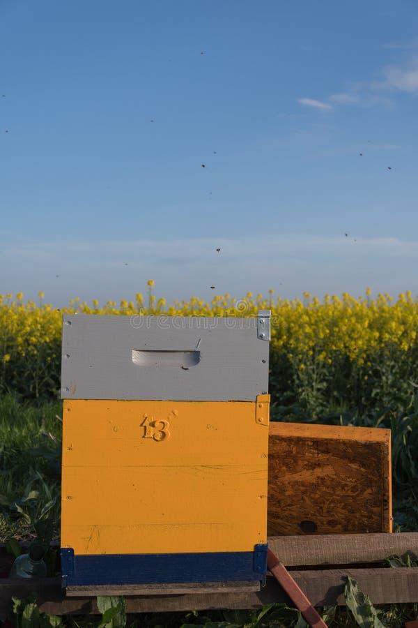 蜂在领域分群 在蜂箱的蜂 库存照片