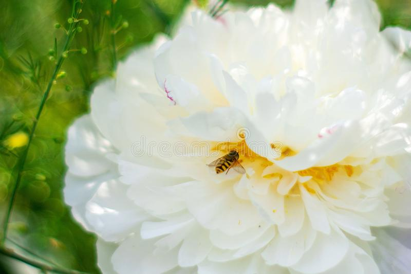 蜂坐一朵白色牡丹花 免版税库存照片