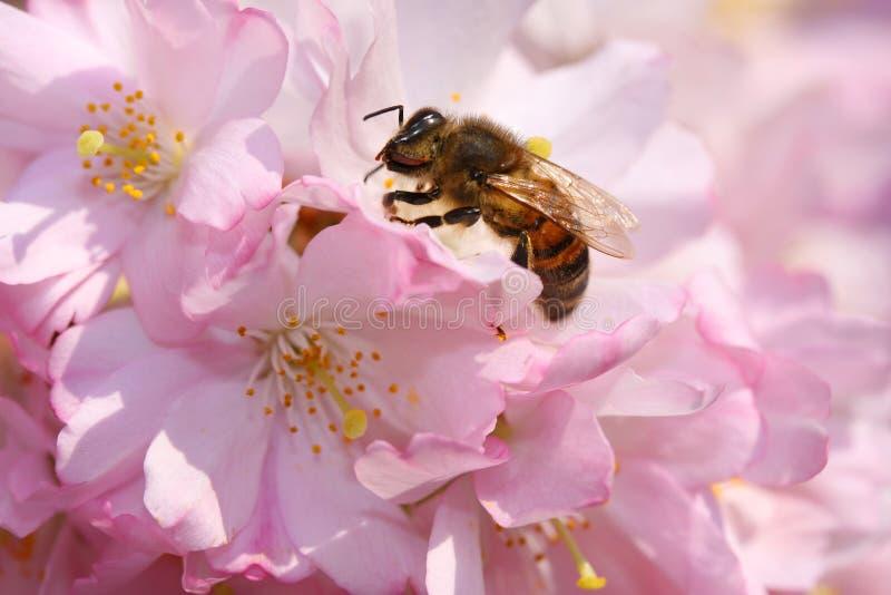 蜂坐一朵美丽的开花的日本桃红色樱花在春天 关闭宏指令 库存图片