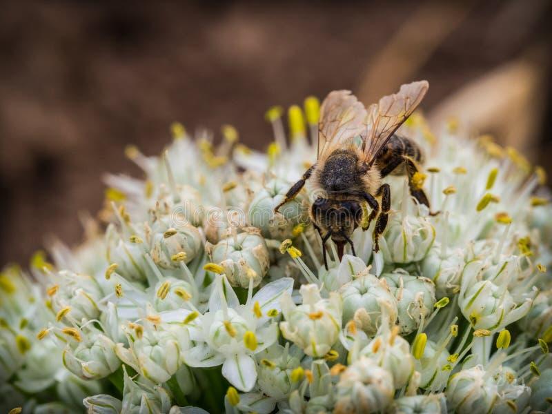 蜂坐一束白花 免版税库存图片