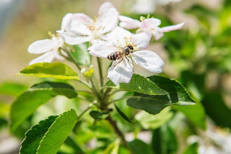 蜂坐蚊子叮咬的苹果树和波尔布特的花.绽放,灌木.背包开花后头疼图片