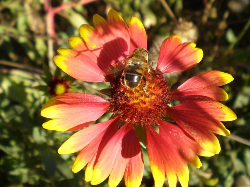 蜂坐花 库存照片