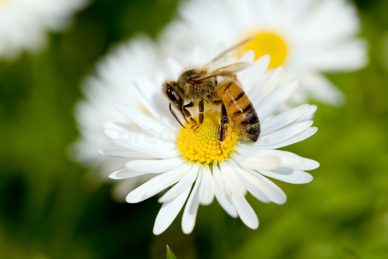 蜂工作 免版税图库摄影
