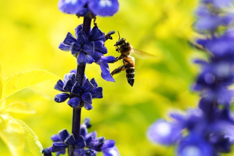 蜂开花爱 库存照片