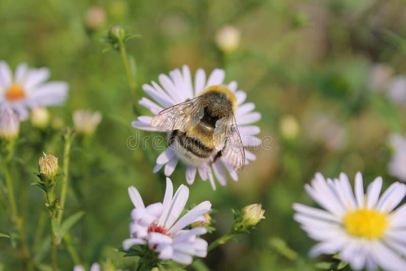 蜂开花自然昆虫夏天 图库摄影