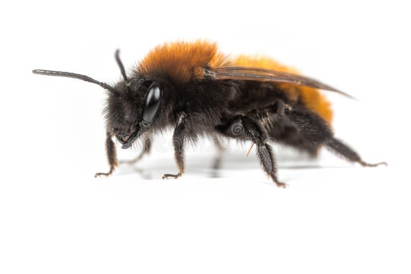 蜂开采黄褐色 免版税图库摄影