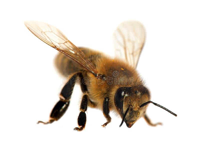 蜂或蜜蜂在拉丁apismellifera.哪里可以和大熊猫合照图片