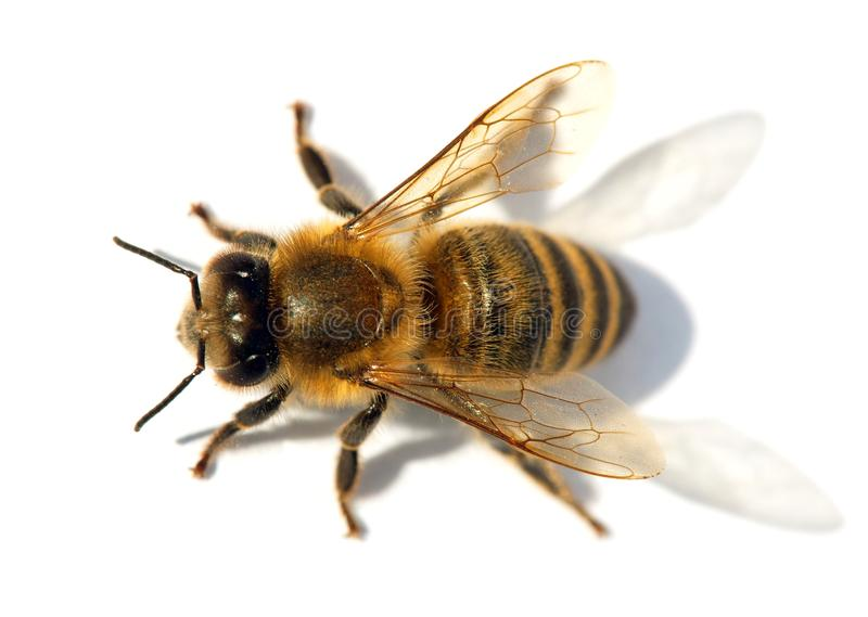 蜂或蜜蜂, Apis Mellifera细节  库存图片