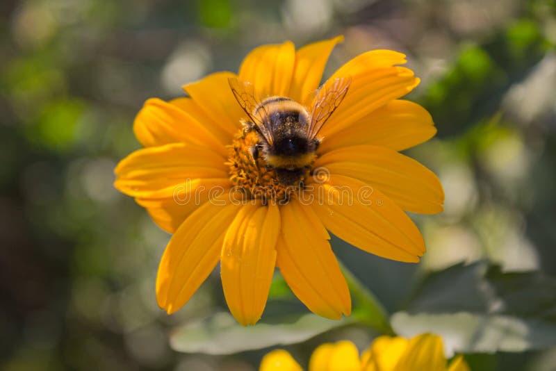 蜂授粉一个黄色花特写镜头 库存照片