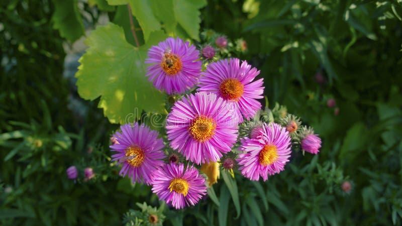 蜂授粉明亮的桃红色花 免版税库存照片