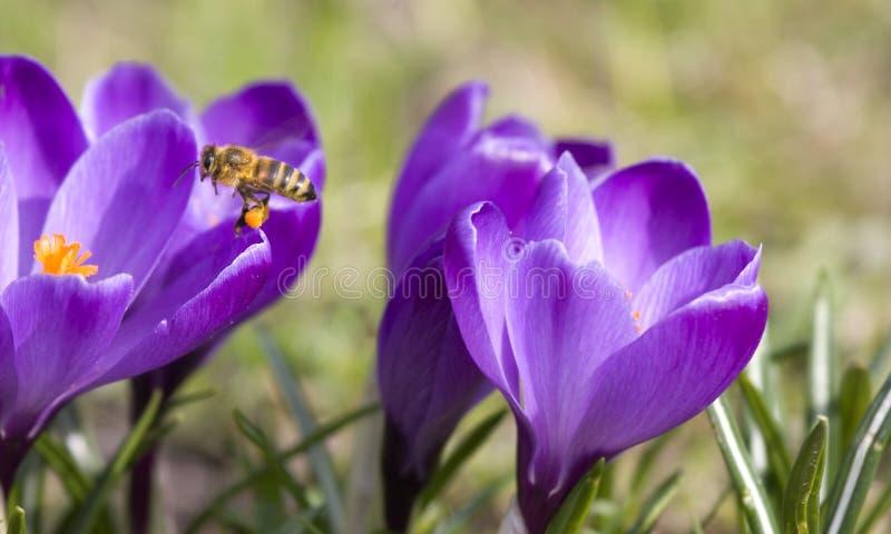 蜂授粉番红花的花 免版税库存照片