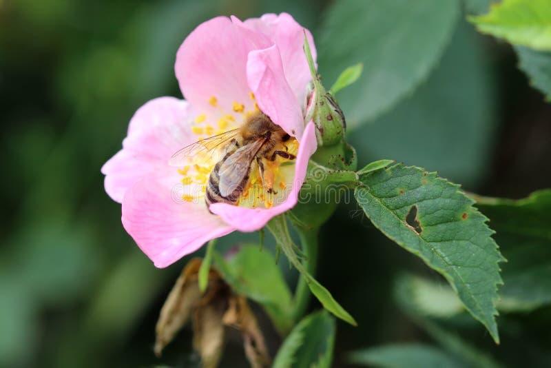 蜂授粉的绽放狂放上升了 免版税库存图片