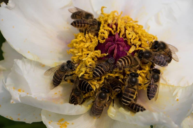 蜂收获花的中心 免版税图库摄影