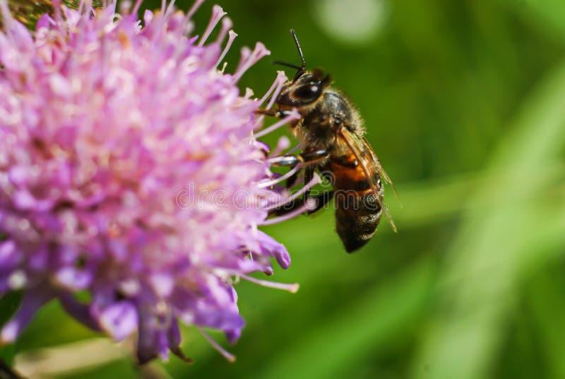 蜂收集在花的花蜜,三叶草 免版税库存图片