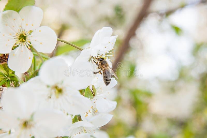 蜂收集花蜜和花粉在一进展的樱桃树branc 库存照片