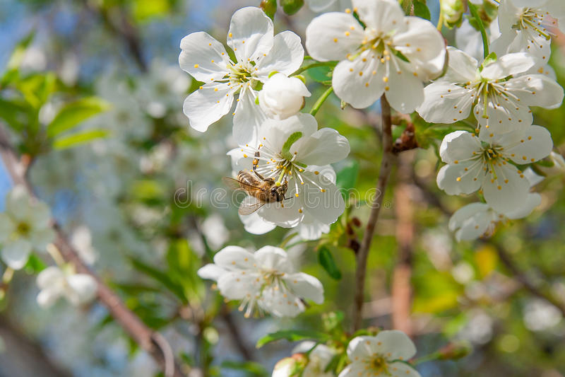蜂收集花蜜和花粉在一进展的樱桃树branc 库存图片